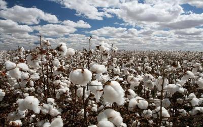 6ο δελτίο γεωργικών προειδοποιήσεων ολοκληρωμένης φυτοπροστασίας στη βαμβακοκαλλιέργεια