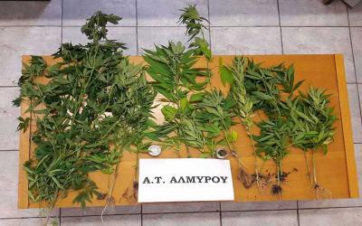 Α.Τ. Αλμυρού: Συνελήφθη 48χρονος με 16 δενδρύλλια κάνναβης