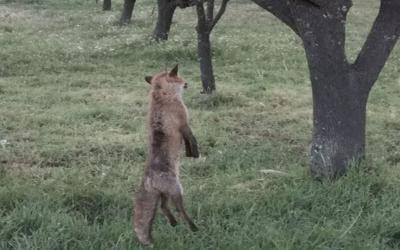 Σούρπη: Αλεπού βρέθηκε κρεμασμένη από δέντρο – Δίνεται αμοιβή σε όποιον δώσει πληροφορίες
