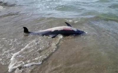 Εντοπίστηκε νεκρό δελφίνι στο Αχίλλειο