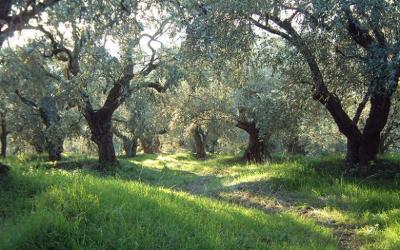 Δολωματικοί ψεκαμοί για τον δάκο σε Σούρπη, Πτελεό, Αγ.Θεοδώρους, Αμαλιάπολη & Αχίλλειο