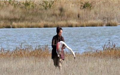 Χαλκιδική: Δεκάδες φλαμίνγκο καταπίνουν σκάγια και πεθαίνουν στη λιμνοθάλασσα του Αγίου Μάμα