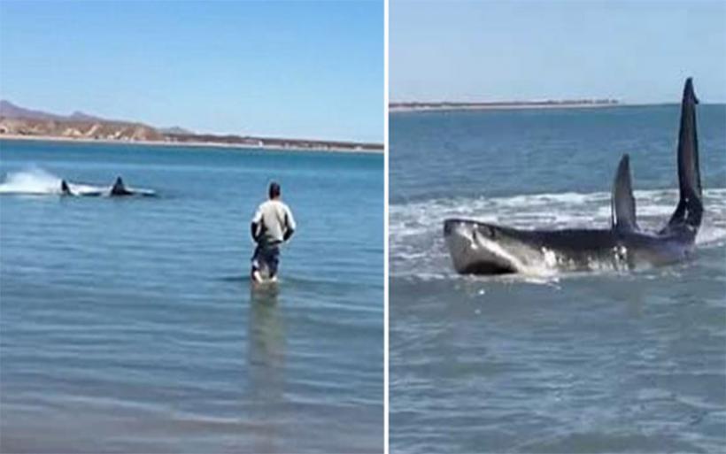Τρόμος στα ρηχά: Μέγας λευκός καρχαρίας κόλλησε στα αβαθή