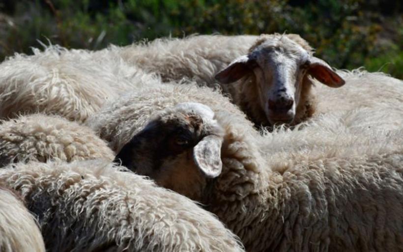 Λάρισα : Έκλεψαν ολόκληρο κοπάδι με πρόβατα