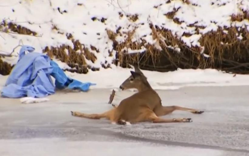 Βίντεο: Διασώστες απεγκλωβίζουν ελάφι από παγωμένο ποταμό