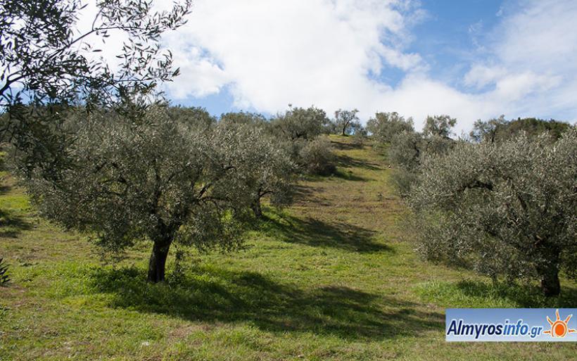 1,3 εκατ. ευρώ από την Περιφέρεια για την προστασία 3.000.000 ελαιόδεντρων σε Μαγνησία και Σποράδες