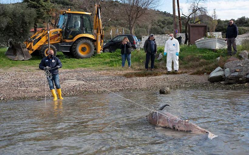 Απομακρύνθηκε νεκρό δελφίνι από την παραλία Κριθαριάς
