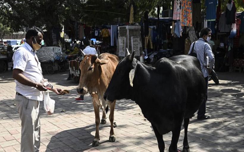 Κορωνοϊός - Ινδία: Γιατροί προειδοποιούν κατά της χρήσης κοπριάς από αγελάδες ως ασπίδα προστασίας από τον ιό