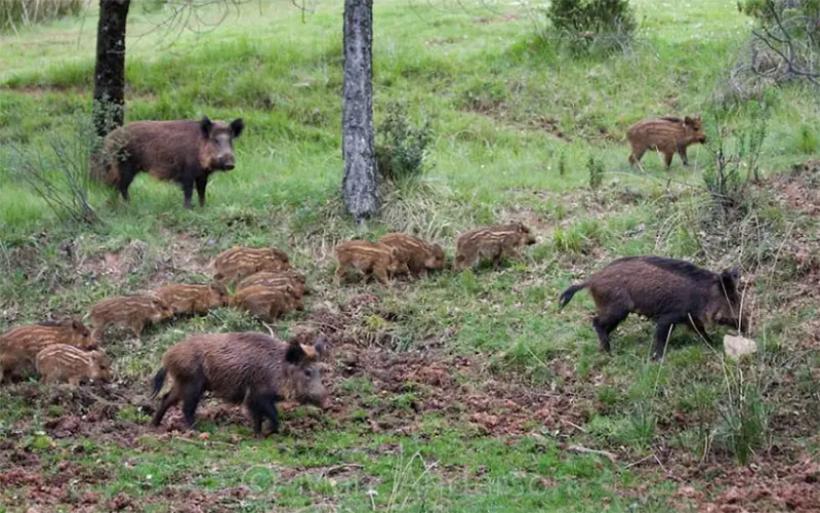 Μεγάλες ζημιές σε καλλιέργειες από αγριογούρουνα στις Μικροθήβες – Έντονες διαμαρτυρίες αγροτών
