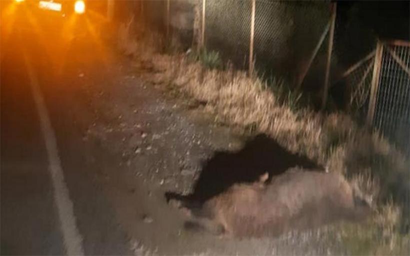 Τροχαίο ατύχημα με αγριογούρουνο στον Καντήραγα