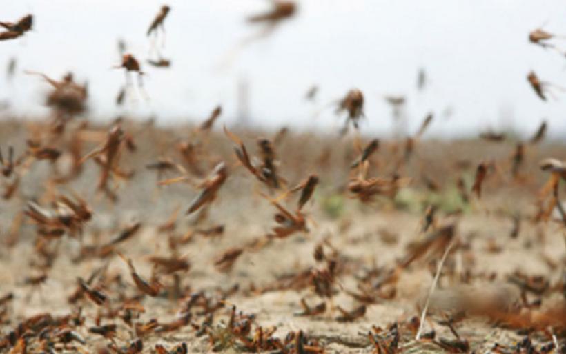 Σε κατάσταση εκτάκτου ανάγκης ο Άγιος Ευστράτιος - Ακρίδες ισοπεδώνουν το φυτικό βασίλειο