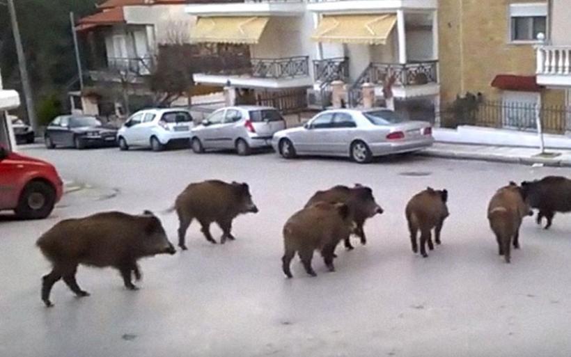 Αγριογούρουνα ψάχνουν για τροφή στις αυλές σπιτιών της Θεσσαλονίκης