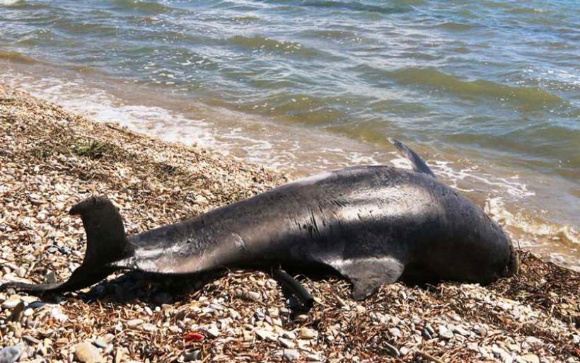 Δύο νεκρά δελφίνια βρέθηκαν σε παραλίες της Σκιάθου