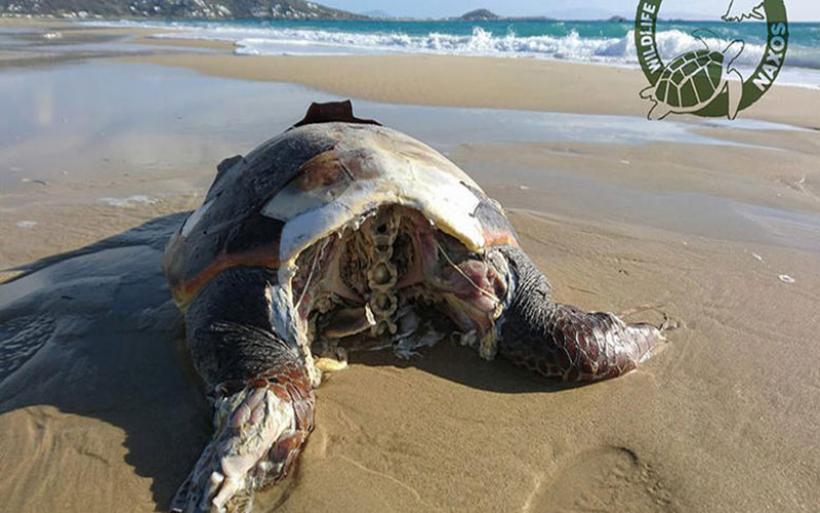 Aποκεφάλισαν 10 θαλάσσιες χελώνες στην Νάξο – Aναζητούνται οι δράστες