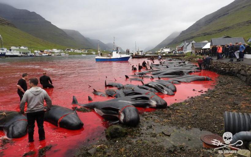 Grindadrap: Παγκόσμιο σοκ από τη σφαγή 1.428 δελφινιών στα νησιά Φερόε