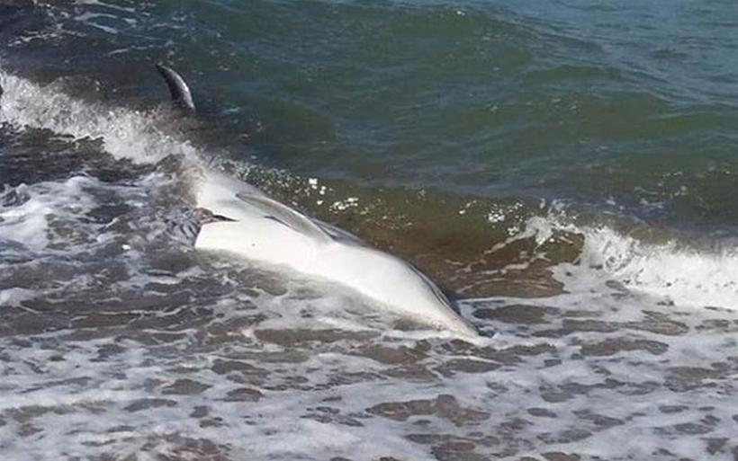 Δελφίνι εντοπίστηκε νεκρό στο Καραβοτσάκι Πτελεού