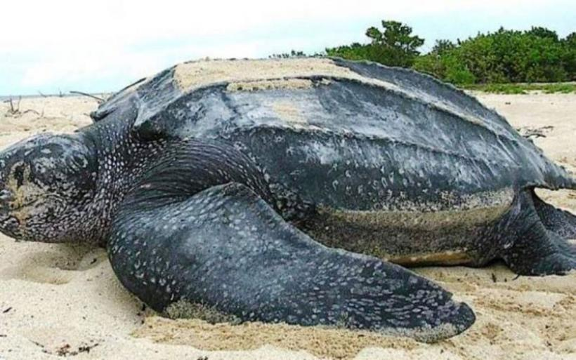 Μια «δερματοχελώνα» γιγαντιαίων διαστάσεων και 700 κιλών… ξεβράστηκε κοντά στη Βαρκελώνη