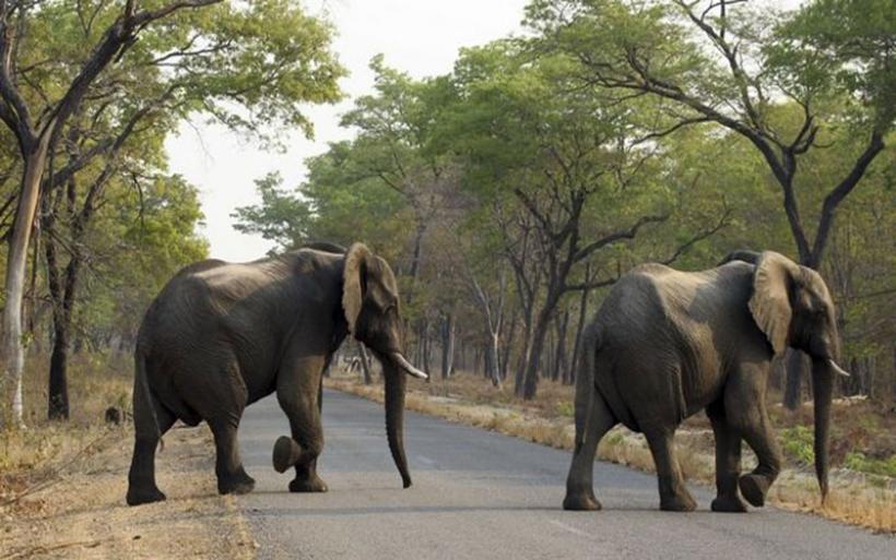 Ζιμπάμπουε: Δεν μπορεί να διαχειριστεί τους πολλούς ελέφαντες και τους πουλάει στο εξωτερικό
