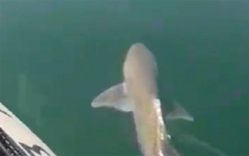 Χαλκίδα: Πήγαν για βαρκάδα και συνάντησαν καρχαρία 1,5 μέτρου