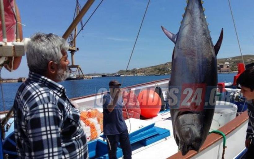 Σέριφος: Έπιασε δύο τεράστιους τόνους συνολικού βάρους 470 κιλών