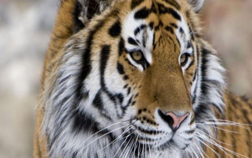 Εντυπωσιακό βίντεο: Drone καταγράφει τις άγριες τίγρεις της Σιβηρίας