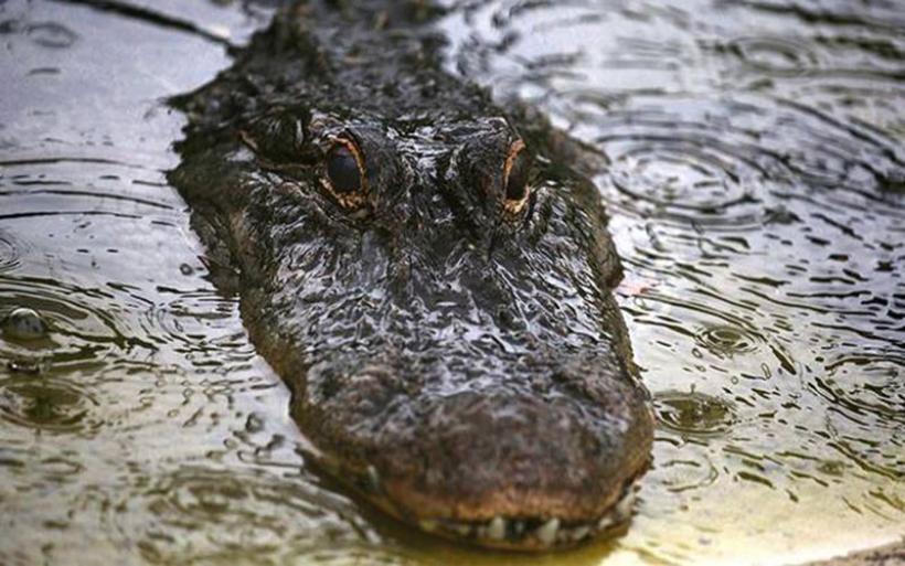 Τεράστιος αλιγάτορας πηδάει σε τουριστικό σκάφος και σπέρνει πανικό