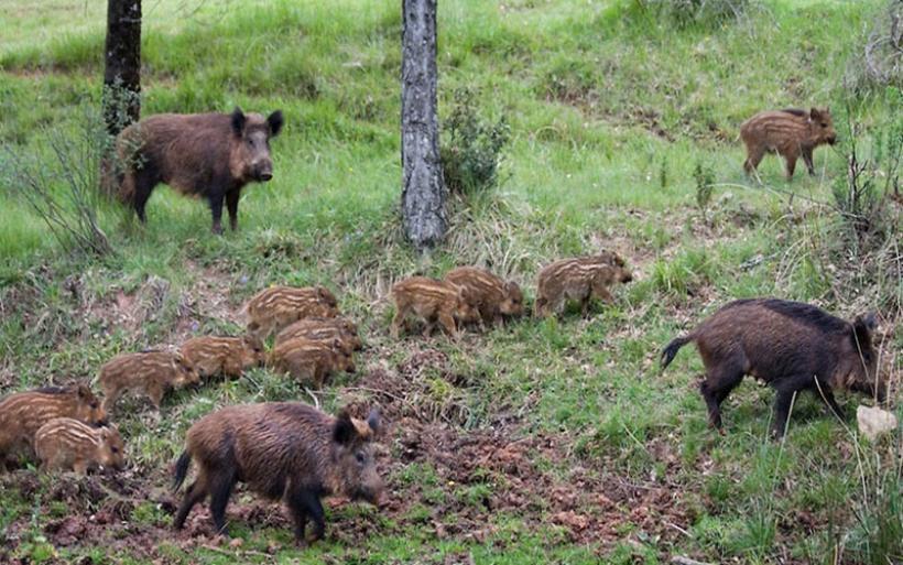 Θεσσαλονίκη: Εισβολή αγριογούρουνων σε αγροτικές καλλιέργειες πέριξ του Σέιχ Σου
