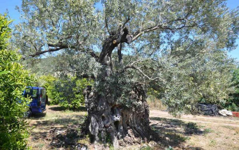 Κρήτη: Υπεραιωνόβιες ελιές καταλήγουν στα τζάκια - Έκκληση για τη σωτηρία τους