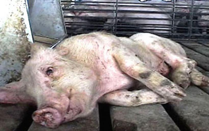 Έκλεψαν γουρούνι από στάνη ηλικιωμένου στη Γαύριανη και το έσφαξαν