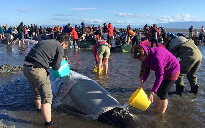 Νέα Ζηλανδία: 400 φάλαινες εξόκειλαν σε ακτή - νεκρές οι περισσότερες