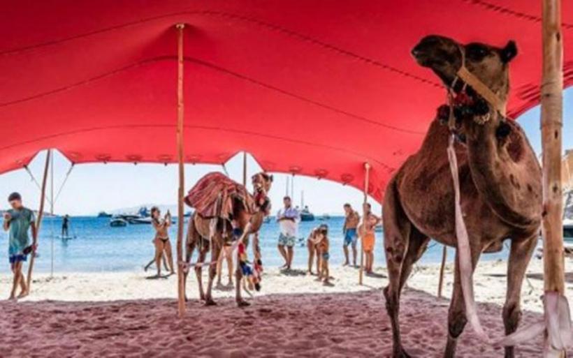 Καταγγελία για τις καμήλες στο πάρτι χλιδής του Nammos με τους ναργιλέδες και τις χορεύτριες