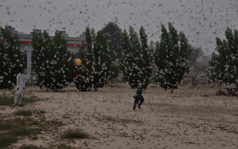 Βιβλικές σκηνές στην Ινδία – Σμήνη ακρίδων κατατρώνε τεράστιες εκτάσεις με καλλιέργειες
