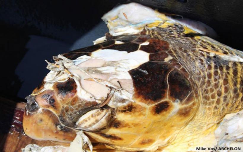 Επικίνδυνος για τις θαλάσσιες χελώνες είναι πλέον ο κόλπος του Λαγανά Ζακύνθου