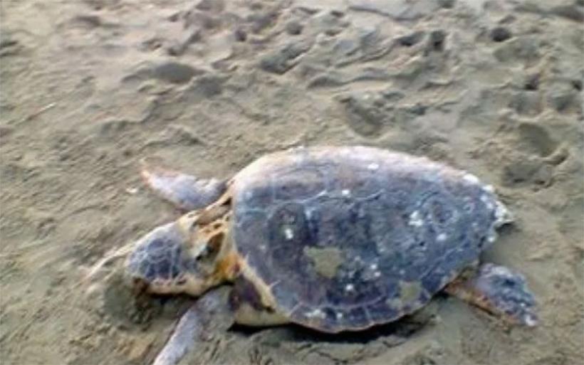 Νεκρή καρέτα-καρέτα σε παραλία του Πτελεού