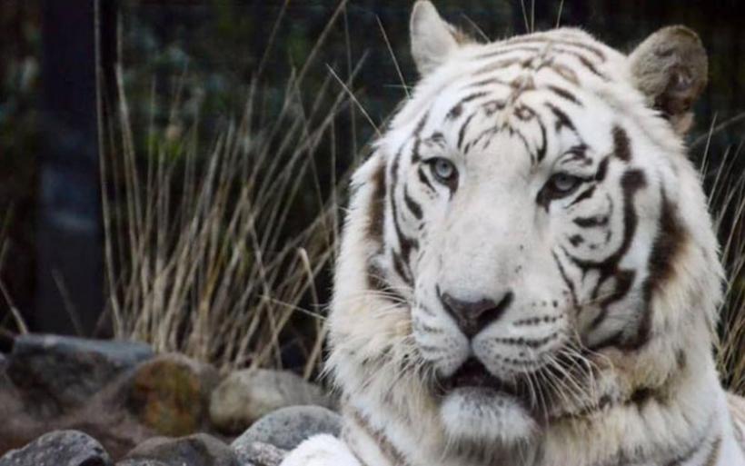 Ιαπωνία: Σπάνια λευκή τίγρης κατασπάραξε φύλακα ζωολογικού κήπου