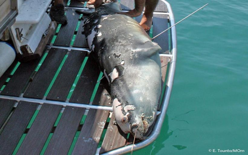Αλόννησος: Εισαγγελική παρέμβαση για τη θανάτωση της φώκιας – μασκότ «Κωστή»