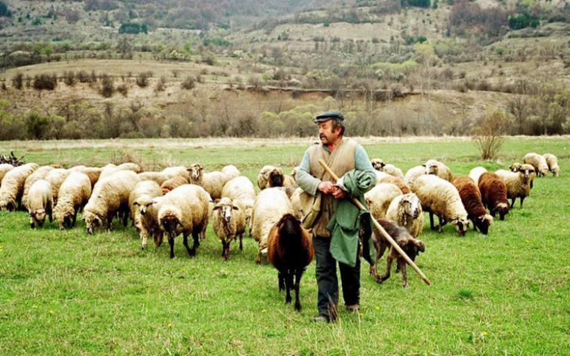 Σε απόγνωση οι Θεσσαλοί κτηνοτρόφοι: Κατρακυλούν οι τιμές σε γάλα και κρέας