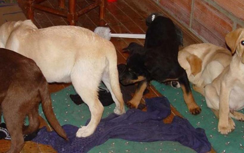 Κτηνίατρος διακινούσε ναρκωτικά μέσα στα στομάχια κουταβιών