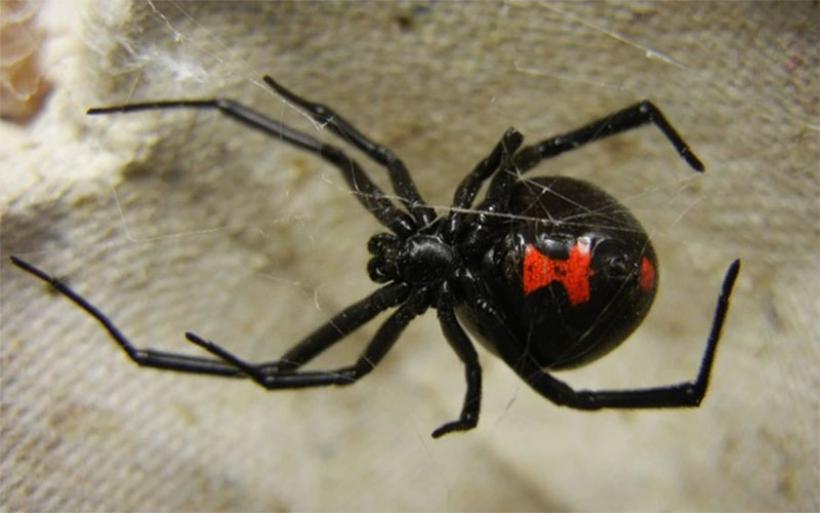"""Πανικός στην Αμφιλοχία: Αράχνη """"μαύρη χήρα"""" έστειλε βρέφος 10 μήνων στο νοσοκομείο"""