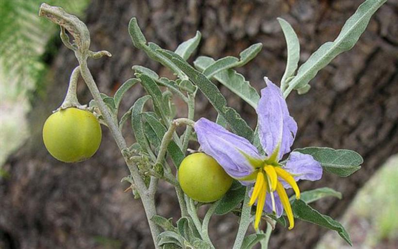 Γερμανός, ένα ξενόφερτο φυτό που επελαύνει στην Ελλάδα
