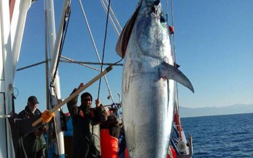 Ψάρεψαν τόνο 185 κιλών στη Σκόπελο ανήμερα των Χριστουγέννων