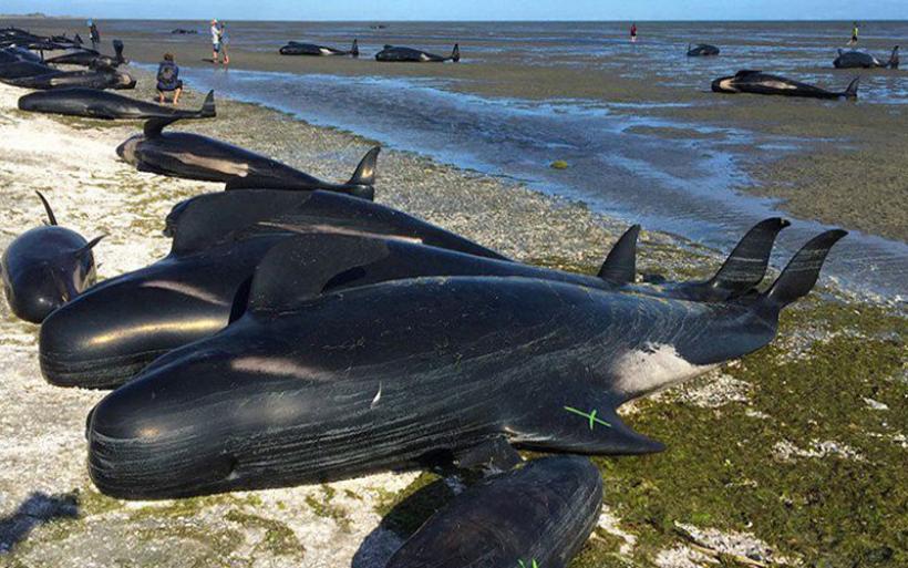 Νέα Ζηλανδία: Άλλα 50 μαυροδέλφινα εξόκειλαν και πέθαναν στις ακτές της χώρας