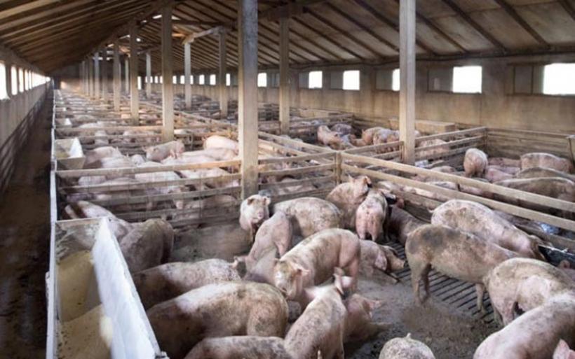 ΠΚΜ: Επαγρύπνηση μετά τα κρούσματα αφρικανικής πανώλης των χοίρων στη Βουλγαρία