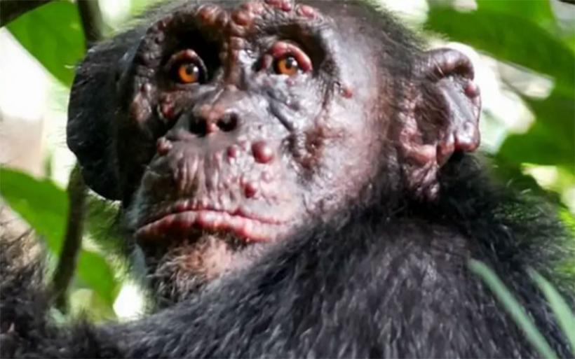 Αφρική: Κρούσματα λέπρας για πρώτη φορά σε άγριους χιμπατζήδες