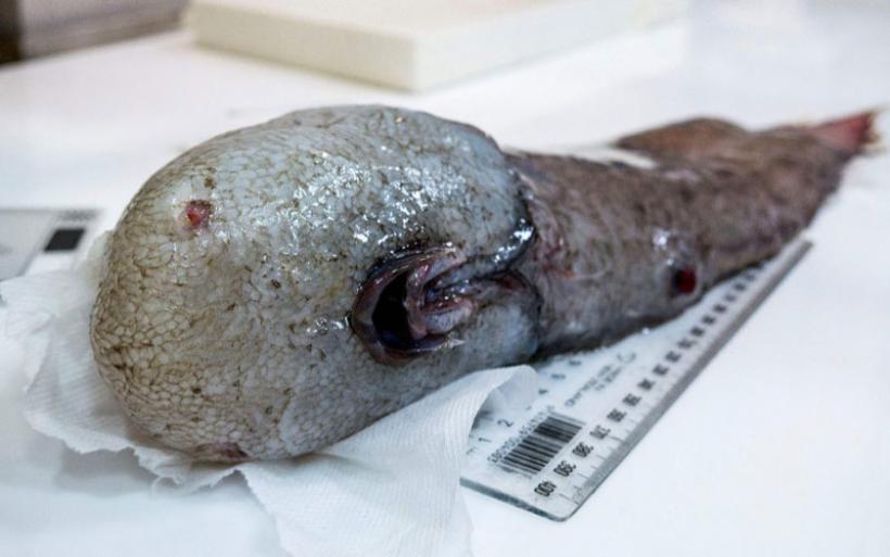 Αυστραλοί ψάρεψαν το ψάρι χωρίς πρόσωπο - Nόμιζαν ότι είχε εξαφανιστεί