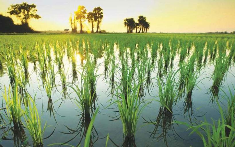 Η αύξηση του διοξειδίου άνθρακα μειώνει τη θρεπτική αξία του ρυζιού