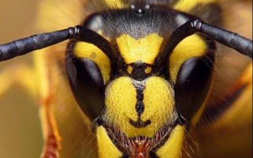 Οι «Σφήκες της Κολάσεως» - Συγκλονιστικό βίντεο από το National Geographic