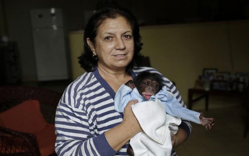 Μεγαλώνοντας χιμπατζήδες στην Κούβα: ένας γλυκός μπελάς για μία 62χρονη βιολόγο