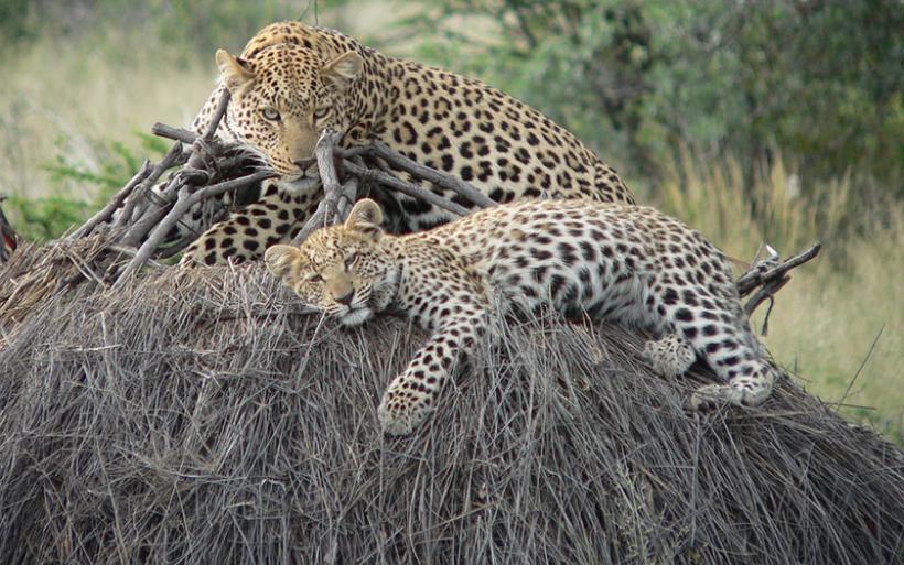 Αφανίζονται οι λεοπαρδάλεις από τους κυνηγούς στην Νότια Αφρική