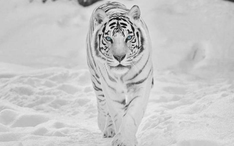 Drone καταγράφει τις άγριες τίγρεις της Σιβηρίας σε εντυπωσιακό βίντεο